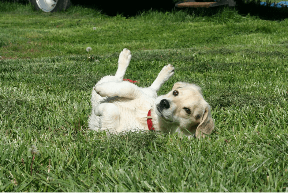 Dog rolling around in grass